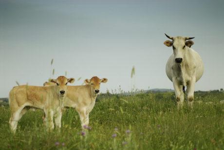 Fattoria Barbialla Nuova cows 3