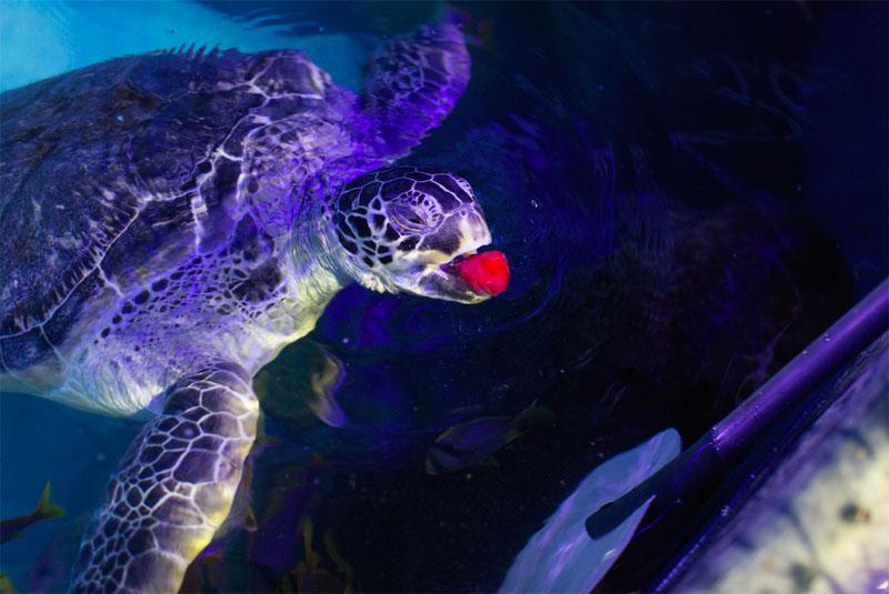 Ernie the Turtle - Strawberry 2 copy